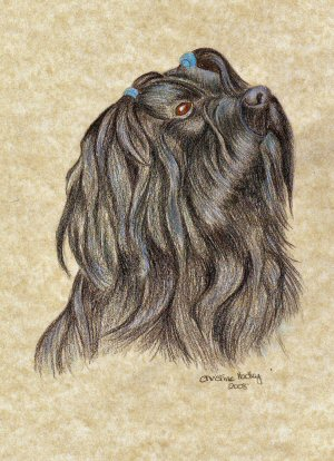 Coloured pencil - head and shoulder picture of Rhoni the Tibetan Terrier.