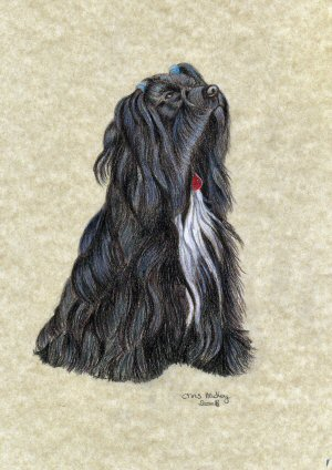 A coloured pencil study of Rhoni the Tibetan Terrier